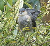 Sparrowhawk. 'accipiter nisus'   Explored (Paul (Barniegoog)) Tags: bird nature hawk northamptonshire birdofprey sparrowhawk badby accipiternisus nisus accipitet