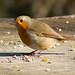 DSCF2941 Robin