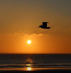 Hover (Owen Tetley) Tags: sunset bird beach birds silhouette seagull gulls westwittering