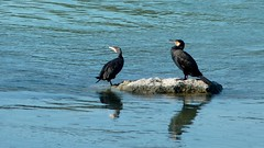 Cormorans sur le Rhne (Matrok) Tags: blue france river cormorants lyon rhne rivire bleu cormorant fleuve cormoran villeurbanne cormorans