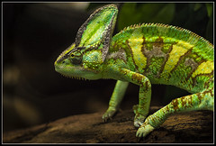 Chameleon (greenflash13) Tags: colour green animal sony camouflage alpha tamron 90mm 90 lizzard cameleon reptilia chordata squamata iguania chamaeleonidae lacertilia changecolour platinumheartaward