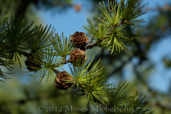 Larix laricina - Lake County, Illinois, United States of America (Pecos Valley Diamond) Tags: tree illinois native pines larch tamarack conifer larix pinaceae larixlaricina