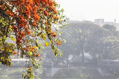 C_88133 (HamimCHOWDHURY  [Read my profile before you fol) Tags: pink blue red bw orange black flower green yellow canon ball eos head mark tripod ii frame 5d dhaka feb dslr bangladesh gitzo hoya novoflex nq polash phool 2013 hddc 3541l hamimchowdhury c88133
