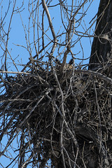 GHO Home_42820.jpg (Mully410 * Images) Tags: bird birds nest birding ears owl birdwatching birder raptors birdsofprey greathornedowl tcaap ahats burdr ardenhillsarmytrainingsite