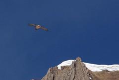 Route du col de Pause (Seix/Ariège/Pyrénées) (PierreG_09) Tags: montagne oiseau pyrénées pirineos faune ariège seix beardedvulture gypaetusbarbatus gypaètebarbu couserans