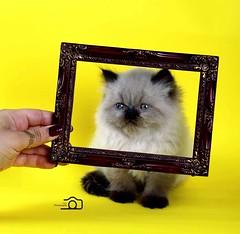 Cat9661 (44) (Cat9661) Tags: animals cat حيوانات مون قطط هاف بسة فيس شيرازي بيكي بساس هملايا