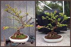Pixie Bougainvillea Progression. 3 weeks (Cryptic Culture Gear/ Luminous Soul Designs) Tags: tree yellow bougainvillea pixie queen pot bonsai variegated progression