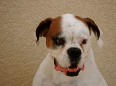 Mancha (Barbara_Filippini) Tags: pet dogs shihtzu boxer ces perros cachorros animais