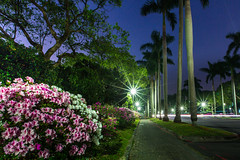 Azaleas at night  (Sharleen Chao) Tags:         canon canoneos5dmarkiii canon5dmarkiii 1635mm night bluehour asalea longexposure flower tone nopeople starburst lightflare lights lighttracks