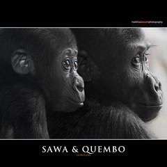 SAWA & QUEMBO (Matthias Besant) Tags: baby animal animals mammal deutschland monkey tiere hessen gorilla ape monkeys mammals apes fell tier affen primates affe babygorilla primat jungtier gorillababy hominidae primaten querformat saeugetier saeugetiere menschenaffen hominoidea trockennasenaffe menschenartige mygearandme affenfell menschenartig affenblick rememberthatmomentlevel1 rememberthatmomentlevel2 matthiasbesantphotography matthiasbesant