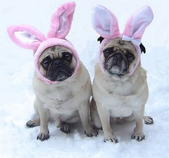 Pug Easter Bunnies (DaPuglet) Tags: pug pugs easter dog dogs pets cute funny humor holiday spring bunny rabbit bunnies puppy puppies costume animals animal pet ears pink snow alittlebeauty coth sunrays5
