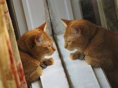 Reflection (Gerry Dincher) Tags: nittany cat housecat orangecat hopemills northcarolina cumberlandcounty stonestreet azaleas dincher gerrydincher