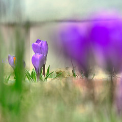 2013-03-16 17-48-48 (tZar ZEF) Tags: green garden utah leaf spring backyard purple blossom violet crocus bloom bud saffron flowersplants
