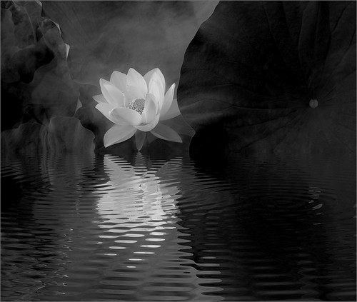 Flickriver photoset black and white lotus flower by bahman farzad white lotus reflections in black and white imgp6812 82x97 bw 800 mightylinksfo