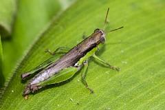 Toilet break (yanwym) Tags: park macro gardens canon singapore insects grasshopper botanicgardens 600d naturesharmony