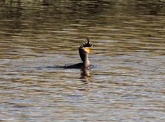 Double-Crested Cormorant - IMG_5987bcs (Sue Coastal Observer) Tags: fish bird bc surrey cormorant flounder serpentinefen