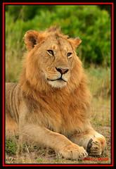 YOUNG MALE LIONS (Panthera leo).....MASAI MARA.....OCT 2012 (M Z Malik) Tags: africa nikon leo kenya wildlife safari masaimara 70200mmf28 keekoroklodge flickrbigcats exoticafricancats d800e exoticafricanwildlife
