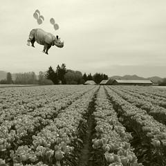 spring has sprung (Janine Graf) Tags: travel flowers bw silly balloons spring surreal adventure rhino artrage whimsical tulipfestival whiterhinoceros tullips juxtaposer janine1968 scratchcam janinegraf squaready sheslookingforlove iwonderifeddieredmaynewouldlikemyspaghettisauce