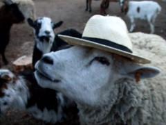 Marcelle - Leon de classe (Vousk-prod.) Tags: chapeau parc mouton classe marcelle lilou friedel illkirch vouskprod vousk