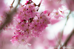 Cherry Blossom / Sakura - The misunderstood bunch  (^Lakshman^) Tags: pink flower nature japan canon eos flora scenery colours bokeh candid   sakura cherryblossoms  tamron  gifu hanami haru  lakshman 50d  2013  canoneos50d 18270mm tamron18270mmf3563diiivc lakshmanphotography