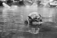 Nakano, 2013 (Dre_bezalel) Tags: travel blackandwhite bw nature wet water monochrome animal animals japan bath wildlife nakano  spa animalplanet jigokudani snowmonkey fujixpro1 monkeysnow
