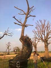 ต้นพะยอม8