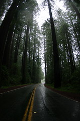 Redwoods at Avenue of the Giants (PommeGranny) Tags: california humboldt giants redwood avenue sequoia highway101 avenueofthegiants myersflat scenicdrive