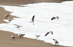 seagulls on a winter afternoon (tom.edwards1974) Tags: seagulls gulls birds landscape seascape color colour beach winter water sea shore ocean sorrento peninsula melbourne victoria australia sand afternoon