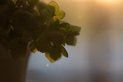Enchanted (Captured Heart) Tags: hydrangea evening dusk enchanted enchanting sunset pastels softness softlight softcolors