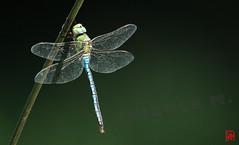 Une macro d'Anax empereur au 600 mm.... (mamnic47 - Over 6 millions views.Thks!) Tags: fleurs libellule bagatelle anaximperator img5032 jardindebagatelle parcdebagatelle anaxempereur sigma150600mm