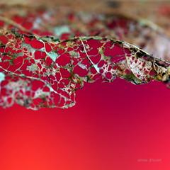Fminit (Anne*) Tags: annedhuart 2016 dentelles fminit feminity lace nature wwwannedhuartcom 500x500