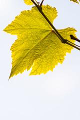 A grape leaf (Raoul Pop) Tags: garden underside macro season grapeleaf leaf fall veins texture autumn medias transilvania romania ro
