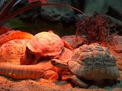 Reptiles (VALV!DAL) Tags: lizard tortue lezard turtle reptiles reptilians reptile shell carapace animals animal animaux zoology zoologie zoo lizardtail tortoise profondeurdechamp depthoffocus redlight photografy photographie photographe photografer olympus
