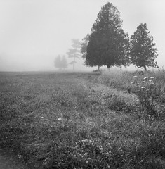 five spruce, grasses, queen anne's lace, fog, saint george, Maine, Rolleicord TLR, Ilford XP4+, Ilford Ilfosol 3 Developer, early August 2016 (steve aimone) Tags: spruce sprucetrees grasses queenanneslace fog saintgeorge maine midcoast rolliecord ilfordfp4 ilfordilfosol3developer 120 film mediumformat landscape
