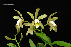 Cattleya forbesii (emmily1955) Tags: orchids cattleya