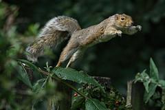 DSC08205 Super Squirrel (Rattyman76) Tags: flying takeoff squirrel