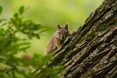 7K8A3805 (rpealit) Tags: scenery wildlife nature east hatchery alumni field hackettstown red squirrel