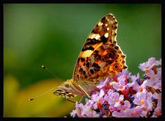 Zeit in den Garten zu flattern,... (karin_b1966) Tags: schmetterling butterfly insekt insect garten garden natur nature 2016 distelfalter yourbestoftoday