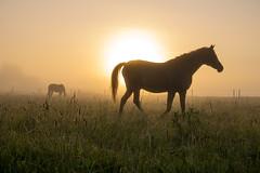 Horses in the Mist (Infomastern) Tags: sdersltt countryside dimma fog horse hst landsbygd landscape landskap mist soluppgng sunrise exif:model=canoneos760d geocountry camera:make=canon exif:isospeed=100 camera:model=canoneos760d geostate geocity geolocation exif:lens=efs18200mmf3556is exif:focallength=35mm exif:aperture=80 exif:make=canon
