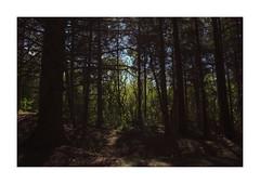 Husby Klitplantage, Denmark (2016) (csinnbeck) Tags: husby husbyklit klitplantage plantage trees pines shadow light forest green x100 fuji 35mm denmark dk jutland fujix100 west coast 6990 2016