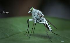 Stiletto fly (Therevidae)  /  (bug eye :) Thailand) Tags: nature natural wildlife macro closeup insect bug bueye doisuthep chiangmai thailand oriental tropical g