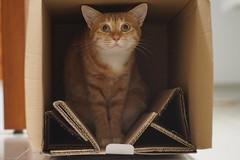 DSC09884 (lazybonessss) Tags: sonya7 sonyilce7 elmaritm90 leica cat inthebox kitten2 momo