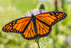 Magnificent Monarch (Bernie Kasper) Tags: art berniekasper butterfly bug color d600 flower floral family flowers fall green hiking jeffersoncounty kasper light madisonindiana macro nature nikon naturephotography monarch monarchbutterfly vacation vivid serene insect indiana insects indianawildflowers wildflower wildflowers thistle plant plants photography new outdoors outdoor old orange nwr bigoaksnwr closeup nikkor digital
