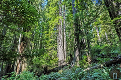 Northern California Coast (randyandy101) Tags: backpacking biking california coast trees tree trail bridge green path landscape vista view photography panorama redwoods forest woods outdoors outdoor walking hiking rainforest moss plants