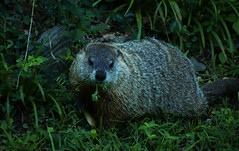 Woodchuck (vbd) Tags: pentax k3 vbd smcpentaxda55300mmf458ed ct connecticut woodchuck animal newengland grazing handheld 2016 summer2016