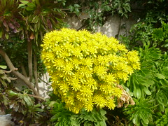 Aeonium arboreum - Floracin. (nirene) Tags: espigafloral aeoniumarboreum crasulceas mijardn nirene