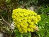 Aeonium arboreum - Floración. (nirene) Tags: espigafloral aeoniumarboreum crasuláceas mijardín nirene