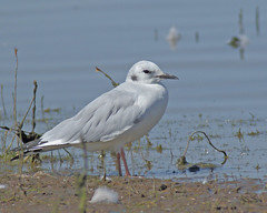 Bonaparte's Gull (Keith Carlson) Tags: bonapartesgull chroicocphalusphiladelphia gulls