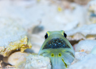 Jawfish with babies