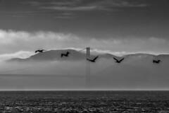 backlight San Francisco b/w (DROSAN DEM) Tags: contraluz san francisco california usa birds pelicans pelicanos aves mar sea water agua ocean oceano